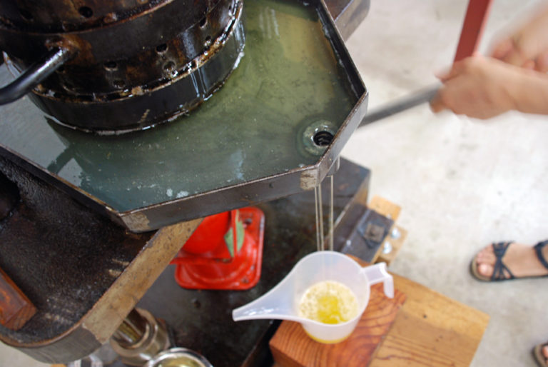 Cold pressing the tsubaki oil
