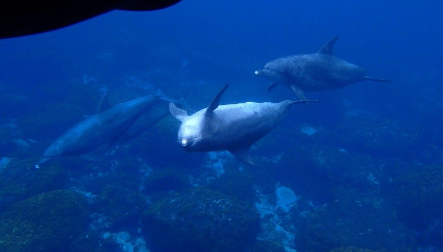 Swimming With Wild Dolphins in Mikurajima! A Dolphin Watching Experience