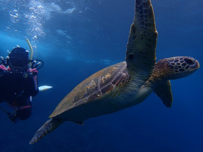 Hachijojima sea turtles diving