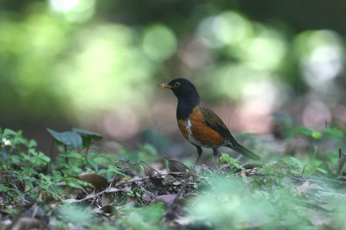 Endemic species, Akakokko, izuislands, Tokyo Islands, birds
